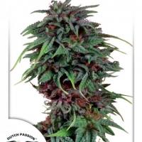 Durban Poison Regular Cannabis Seeds | Dutch Passion