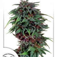 Durban Poison Regular Cannabis Seeds | Dutch Passion