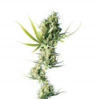 Durban Regular Cannabis Seeds | Sensi Seeds