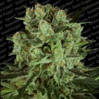 Durga Mata 11 CBD Feminised Cannabis Seeds | Paradise Seeds