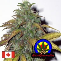 Dynamite Feminised Cannabis Seeds | Next Generation Seeds