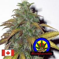 Dynamite Feminised Cannabis Seeds | Next Generation Seeds