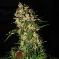 G13 x Blueberry Headband Feminised Cannabis Seeds | Emerald Triangle Seeds