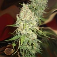 Blackberry OG Feminised Cannabis Seeds | Emerald Triangle Seeds