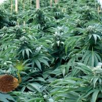 Bubba 76 Feminised Cannabis Seeds | Emerald Triangle Seeds
