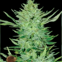 Headlights Kush Auto Feminised Cannabis Seeds | Emerald Triangle Seeds