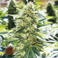 Lemon Diesel Feminised Cannabis Seeds | Emerald Triangle Seeds