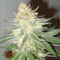 Cotton Candy Cane Regular Cannabis Seeds | Emerald Triangle Seeds