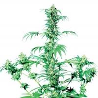 Early Girl Regular Cannabis Seeds | Sensi Seeds