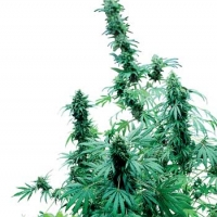 Early Skunk Feminised Cannabis Seeds | Sensi Seeds
