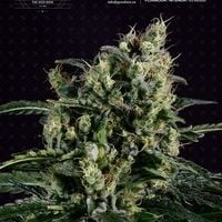 Easy Haze Feminised Cannabis Seeds