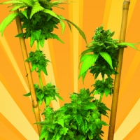 Little Stilton Auto Feminised Cannabis Seeds