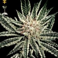 Buy Green House Seeds El Nino Feminised Cannabis Seeds