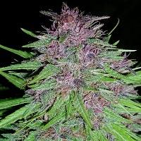 Erdpurt Feminised Cannabis Seeds | Ace Seeds
