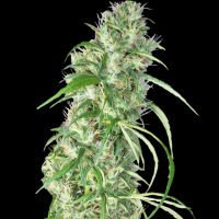 Ethiopia x Malawi Regular Cannabis Seeds | Ace Seeds