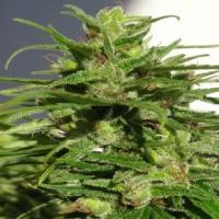 Ethiopian Regular Cannabis Seeds | Ace Seeds