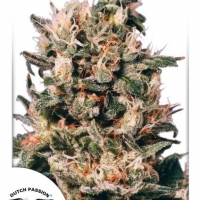 Euforia Feminised Cannabis Seeds | Dutch Passion