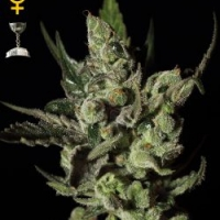 Green House Seeds Exodus Cheese Cannabis Seeds For Sale