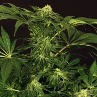 Green Gummy Feminised Cannabis Seeds
