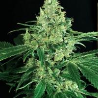 Sir Jack Feminised Cannabis Seeds