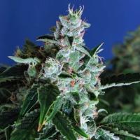 Sir Jack Auto Feminised Cannabis Seeds