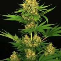 Tangerine Kush Feminised Cannabis Seeds