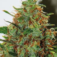 Expert Haze Feminised Cannabis Seeds | Expert Seeds