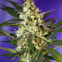 Fast Bud Auto Feminised Cannabis Seeds | Sweet Seeds