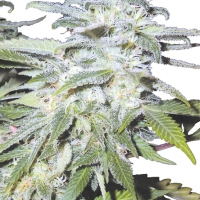 Afghanica Regular Cannabis Seeds