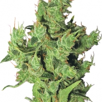 Amsterdam Mist Feminised Cannabis Seeds