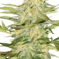 Arctic Sun Regular Cannabis Seeds