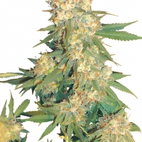 Aurora B Regular Cannabis Seeds