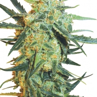 Blueberry Skunk Feminised Cannabis Seeds