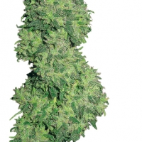 Dame Blanche Feminised Cannabis Seeds