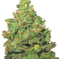Edelweiss Feminised Cannabis Plant