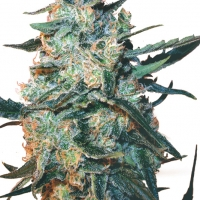 Feminised Mix Cannabis Seeds