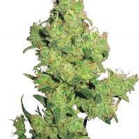 Flying Dragon Feminised Cannabis Seeds