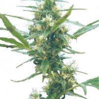 Fuma Con Dios Regular Cannabis Seeds