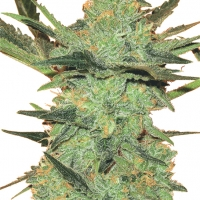 G Force Feminised Cannabis Seeds