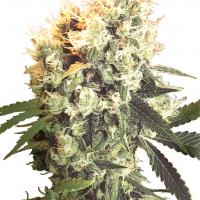 Haleys Comet Regular Cannabis Seeds