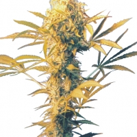 Haze Mist Regular Cannabis Seeds