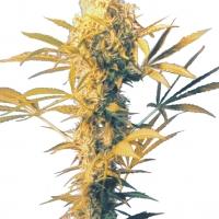 Haze Mist Regular Cannabis Seeds