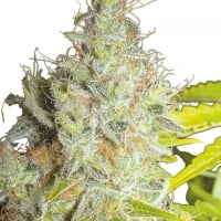 Kerala Krush Regular Cannabis Seeds