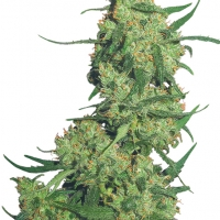 Nepal Kush Feminised Cannabis Seeds