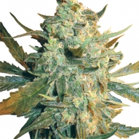 Power Skunk Feminised Cannabis Seeds