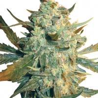 Power Skunk Feminised Cannabis Seeds