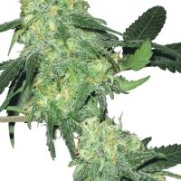 Skunk Classic Feminised Cannabis Seeds