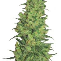 Temple Haze Feminised Cannabis Seeds