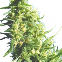 Thai Tanic Regular Cannabis Seeds