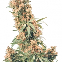 The Pure Regular Cannabis Seeds